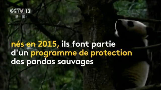 Chine : deux pandas géants recouvrent la liberté