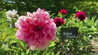 Haute-Marne : Les Jardins de mon Moulin, paradis de la pivoine (France 3)