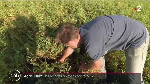 Agriculture : la pluie a abîmé les récoltes