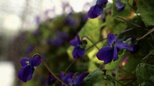 La violette, délicateet odorante, est majoritairement utilisée en confiserie pour son goût inimitable. (CAPTURE ECRAN FRANCE 2)