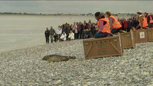 Quatre phoques sont relâchés à Cayeux-sur-Mer (Somme), le 22 octobre 2016. (FRANCE 3 PICARDIE)