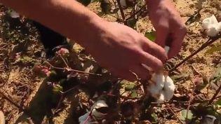 Le saviez-vous ? Du coton pousse dans le Gers. France 2 est partie à la rencontre des agriculteurs à l'origine du projet. (France 2)