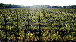 Les vignes du bordelais touchées par le gel en avril 2017. (BONNAUD GUILLAUME / MAXPPP)
