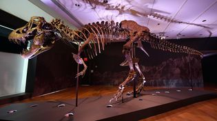 Le squelette de Stan le tyrannosaure exposé à New York le 15 septembre 2020. (ANGELA WEISS / AFP)