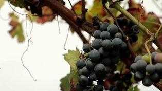 Un vignoble expérimental de Buzet situé au cœur du Lot-et-Garonne teste des solutions pour s'adapter au réchauffement climatique et pour mieux lutter contre les maladies qui s'attaquent à la vigne. (CAPTURE ECRAN FRANCE 2)