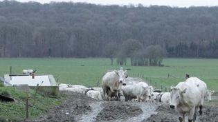 Imminence sera la star du Salon de l'agriculture à Paris samedi 23 février. Cette vache de race bleue du Nord est originaire de France et de Belgique. (FRANCE 3)