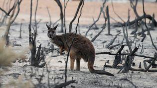Un wallaby dans la brousse brûlée après les incendies en Australie, le 19 janvier 2020. (TRACEY NEARMY / REUTERS)