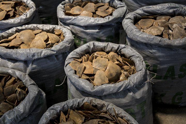 Ecailles de pangolin saisies parles autorités de Hong Kong et montrées à la presse, le 5 septembre 2018. (ISAAC LAWRENCE / AFP)