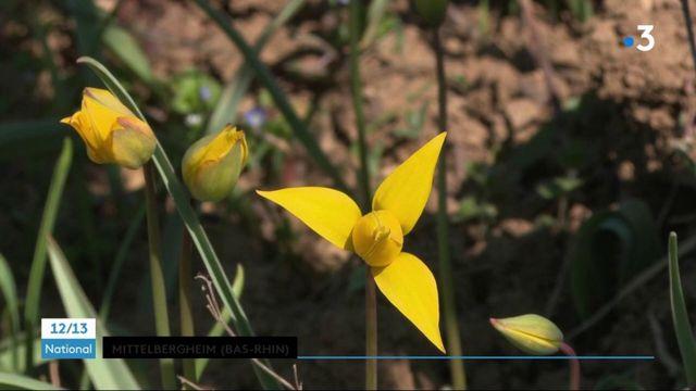 #DécouverteWE : un village viticole se mobile pour sauver ses tulipes sauvages