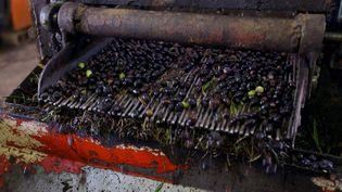 Tri des olives avant le pressoir (MAHMUD TURKIA / AFP)