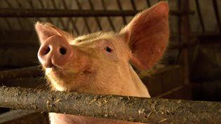 La peste porcine africaine est une maladie pour laquelle il n'existe nivaccin ni traitement. (MARTINE BRÉSON / FRANCE-BLEU 107.1)