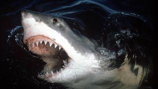 Un requin blanc surgit à la surface. (JEREMY STAFFORD-DEITSCH / MAXPPP)