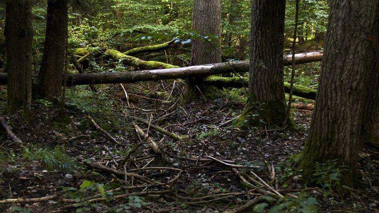 La forêt de Bialowieza en Pologne. (LUDMILA MITREGA / AFP)