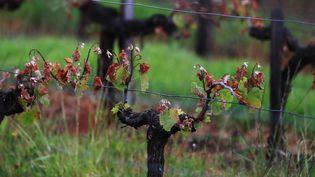 L'état des vignes bordelaises après des gels tardifs, le 10 mai 2017. (BONNAUD GUILLAUME / MAXPPP)