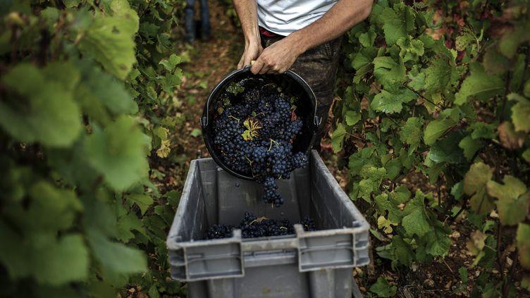 La récolte des raisins dans une exploitation vinicole à Nuits-Saint-Georges (Côte-d'Or), le 7 octobre 2013. (JEFF PACHOUD / AFP)