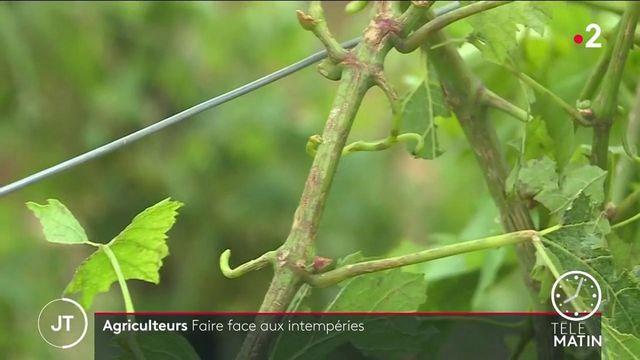 Des orages ont détruit des hectares de vignes