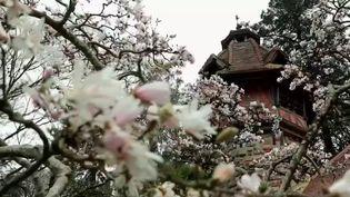 Dans le Maine-et-Loire, le Parc de Maulévrier prend les couleurs printanières de ses arbres et plantes venus d'Asie, notamment les cerisiers du Japon. (France 2)