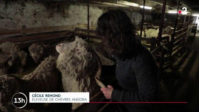 Animaux : les chèvres angora, une espèce rare au poil très prisé