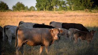 La filière bovine a peur d'être fragilisée par le CETA. (LOIC VENANCE / AFP)