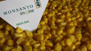 Le MON810est le seul maïs OGM Monsanto cultivé au sein de l'Union européenne. (  MAXPPP)