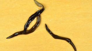 """Le """"Obama nungara"""" est un ver originaire d'Argentine, de couleur brun foncé, mesurant 5 à 10 cm. (JEAN-LOU JUSTINE / MNHN)"""
