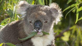 Au total, 686 koalas mourant de faim ont été euthanasiés dans la région deCape Otway, dans le sud-est de l'Australie, en 2013 et 2014. (ROLAND SEITRE / MINDEN PICTURES / AFP)