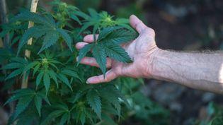 En Suisse, le cannabis à usage thérapeutique est autorisé. (MUJAHID SAFODIEN / AFP)