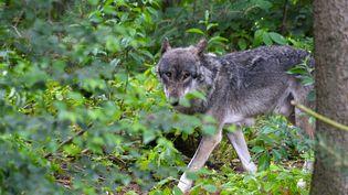 Un loup photographié dans le nord de l'Allemagne (photo d'illustration). (PATRIK STOLLARZ / AFP)