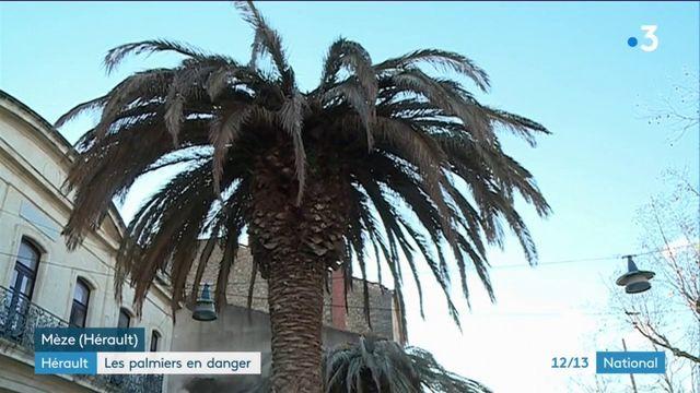 Hérault : les palmiers menacés de disparition