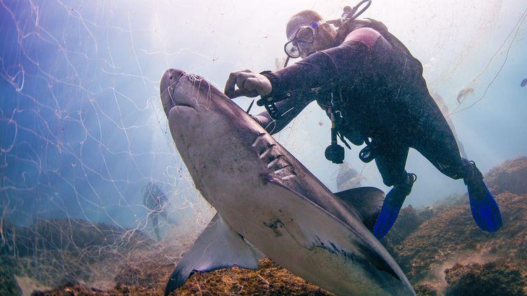 Un plongeur sauve un requin, sans vie, les yeux et le corps coincés dans un filet au Mozambique. (MEDIADRUMWORLD.COM / FRANCESCA T / MAXPPP)