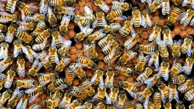 Des dizaines d'abeilles dans une ruche (illustration). (FRANCIS CAMPAGNONI / MAXPPP)