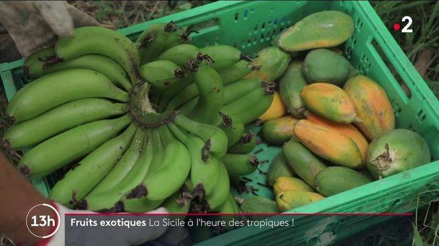 Agriculture : la Sicile se met aux fruits exotiques !