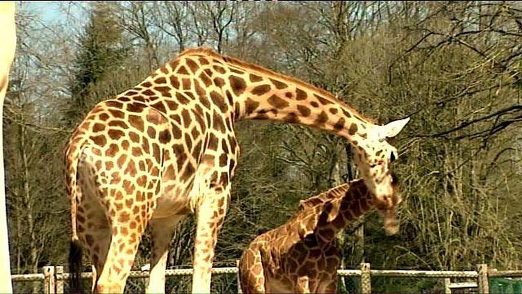 """""""Kimba, le premier yaourt au lait de girafe, est produit en Bretagne !"""", titre France 3 Bretagne, illustrant son article par cette """"girafe et son girafon au zoo de la Bourbansais"""" (Ille-et-Vilaine). (FRANCE 3 BRETAGNE)"""