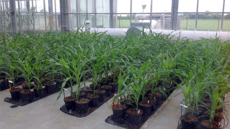Du maïs génétiquement modifié cultivé dans une serre de Chappes (Puy-de-Dôme), le 20 mai 2014. (SANDRA LAFFONT / AFP)