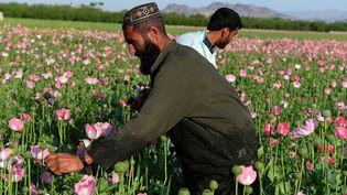 Les nouvelles pratiques culturales permettent jusqu'à trois récoltes de pavots par an (afp/jawed Tanveer)