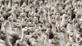 EnHaute-Vienne, des producteurs craignent que la grippe aviaire ne touche leur exploitation. (MAXPPP)