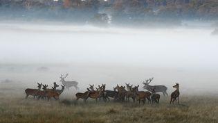 La période de reproduction des cerfs et biches a commencé. (FRÉDÉRIC DESMETTE / AFP)