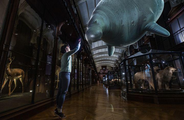 Reproduction d'une rhytine de steller au Muséum national d'Histoire naturelle. (SAOLA STUDIO_MNHN)