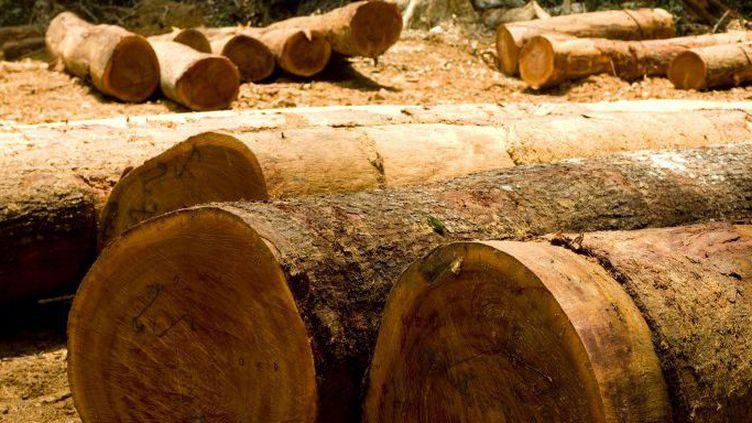 La coupe de grands arbres dans la forêt du Mayombe, en RDC, destinés à l'exportation. (GUYOT-ANA / ONLY WORLD / Only France)
