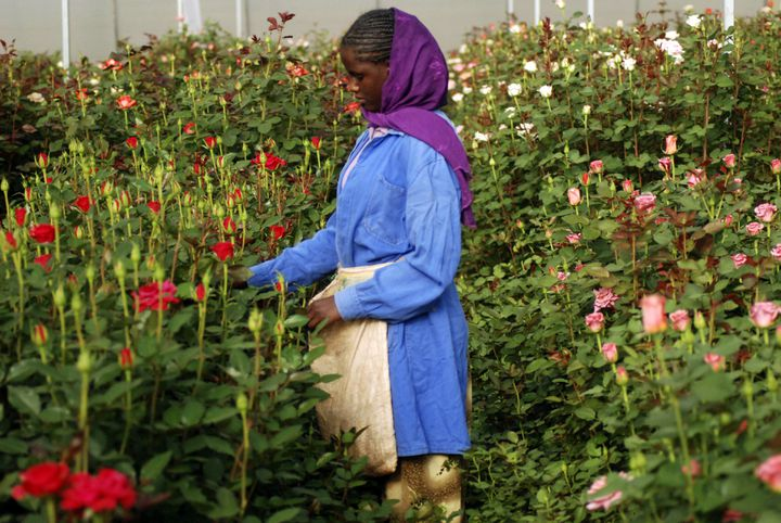 Récolte de roses dans une plantation près d'Addis Abeba, capitale de l'Ethiopie, le 12 février 2018 (STRINGER . / X80002)