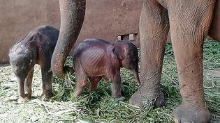 Des éléphanteaux sont nés en captivité au Sri Lanka, le 31 août 2021. (PINNAWALA ELEPHANT ORPHANAGE / AFP)