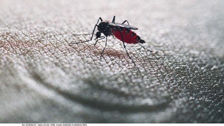 Le moustique tigre, vecteur de la dengue et du chikungunya, fait l'objet d'une surveillance renforcée en France depuis le 1er mai 2012. (DURAND FLORENCE / SIPA)