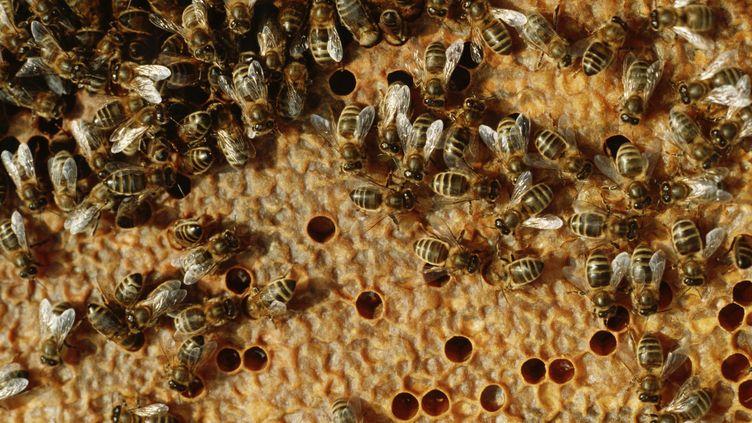 Des abeilles dans une ruche, àAuriac-du-Périgord en Dordogne, le 6 janvier 2017. (JEAN DANIEL SUDRES / AURIMAGES / AFP)