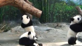 Les trois bébés pandas duChimelong Safari Park, le 27 juillet 2015, dans le sud de la Chine. (REUTERS)