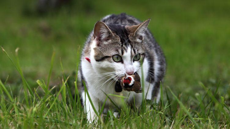 Un chat tenant un oiseau dans sa gueule. (A.J. CASSAIGNE / PHOTONONSTOP)