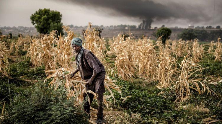 Un fermier Fulani travaille dans un champ de maïs près de Sokoto, au Nigeria. Le pays est le premier touché en Afrique par les dégâts occasionnés par les espèces invasives. (LUIS TATO / AFP)
