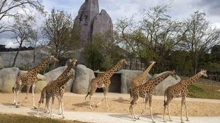 Les girafes dans leur nouvel enclos au parc zoologique de Paris, le 8 avril 2014. (MAXPPP)