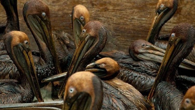 """Des pélicans """"mazoutés"""" en raison de la marée noire, et découverts au large des côtes de Louisiane (AFP - Saul LOEB)"""