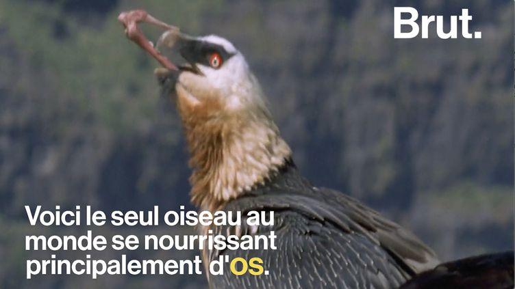 """VIDEO. """"Le nettoyeur des alpages"""", un oiseau qui se nourrit d'os (BRUT)"""