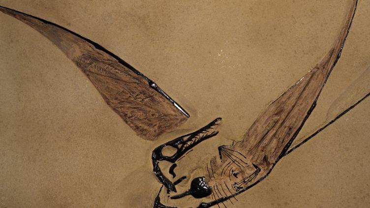 Les filaments de plumes du Sciurumimus sont très similaires à ceux des ptérosaures, dont voici un fossile. (KEVIN SCHAFER / GETTY IMAGES)